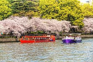 天満橋あたりの桜と遊覧船