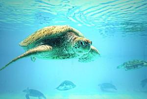 ちゅら海水族館 イケメンウミガメ
