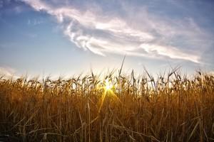 POLDER@セカンドトライ!ビール麦と太陽