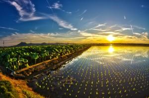 POLDER@4thトライ!蓮根水田の隣にある田植えの終わった水田!