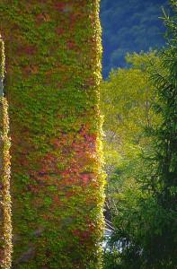 少し紅葉した蔦に覆われる「風の丘」中間駅舎@神戸布引HerbGardens