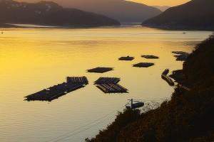 夕日に照らされる牡蠣筏@HINASE